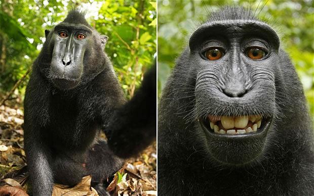 monkey-selfie-fotografije